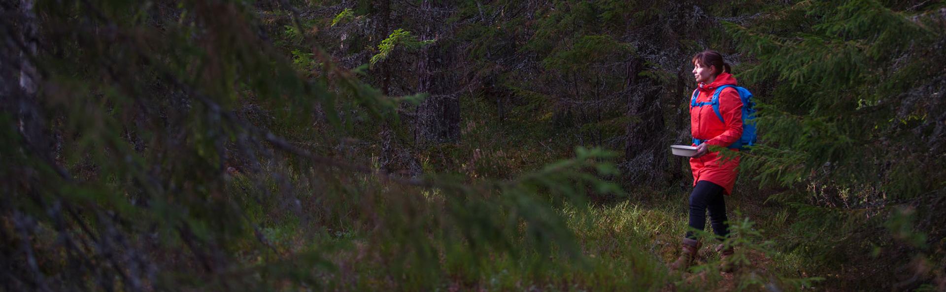 Nainen kävelee retkeilyvarusteissa havumetsässä mustikkapurkin kanssa.